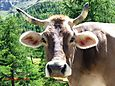 Famous Swiss Cow