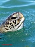 Green Turtle near the Isla de la Plata