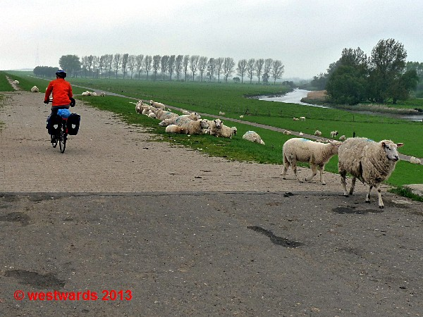 Cyclist and sheep on the Elbe dyke